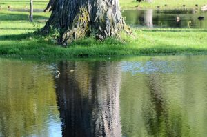 A color photo of the reflection of a tree in flood water.