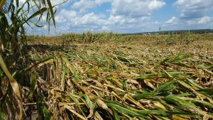 Damaged corn plants after a tornado in Marquette County August 2018.