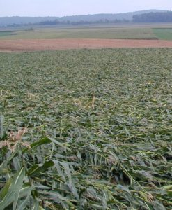 A color photo of mature corn plants laying flat on ground after heavy rains.