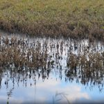A color photo of mature soybean plants in floodwater.