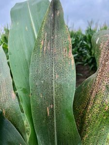 A color photo of a corn leaf with Tar Spot.