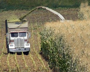 Color photo of a forage harvester chopping corn for silage into a truck mounted forage box.
