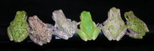 Gray Treefrog Medley