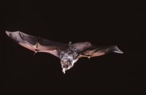 hoary-bat-with-moth-c-merlin-d-tuttle-bat-conservation-international2
