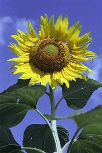 Troy_Garden_sunflower02 (2)