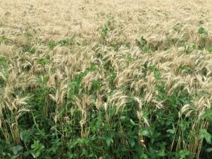 high clover seeding rate