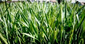 triticale cover crops in wisconsin