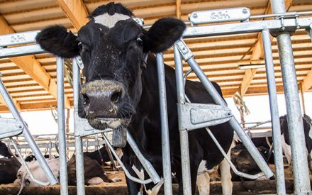 From Farm to Market: Maintaining Carcass Quality and Animal Welfare of Market Cows