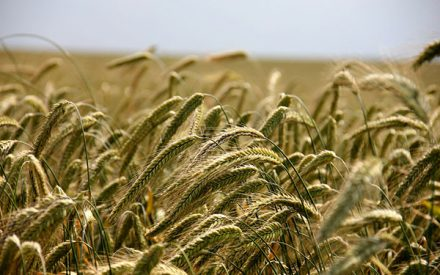 Saving a rye cover crop for forage or grain
