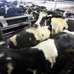 cows crowed in building