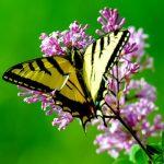 Butterfly on milkweed flower