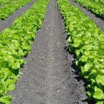 rows of lettuce growing