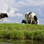 Dairy cows eating grass
