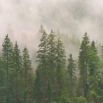 forest of conifers