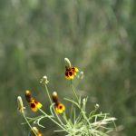 native prarie plant