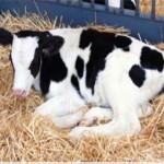 image of a calf