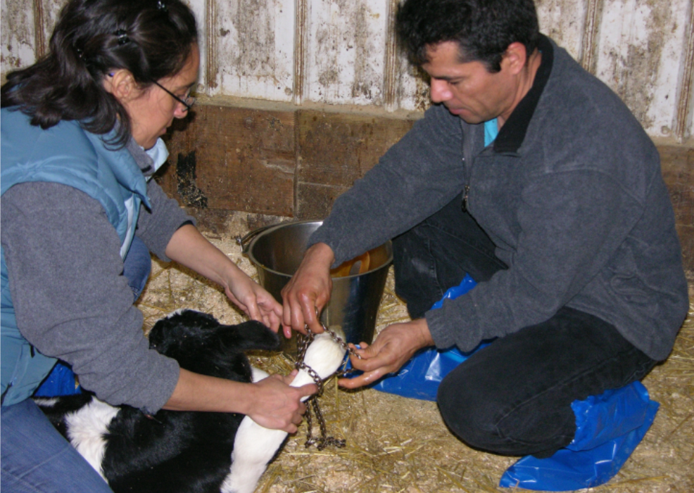 a woman and man demonstrating chain removal after calf is born