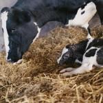 A Holstein cow and her newborn calf