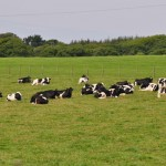 cows laying in the grass