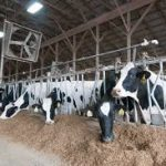 Holstein cows eating their feed while in their stansions