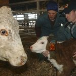 2 vets, one using a sthethoscope, with cattle