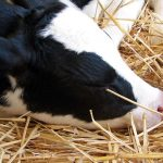 image of a Holstein calf's head