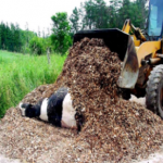 composting cattle