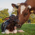 mother cow & newborn calf