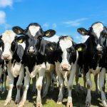 picture of Holstein heifers in the field