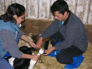 two individuals helping a Holstein calf