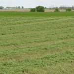 field of alfalfa