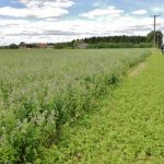 picture of an alfalfa field