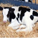 picture of a Holstein dairy calf