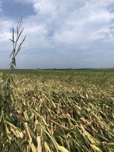 Corn fields affected by a derecho in IA