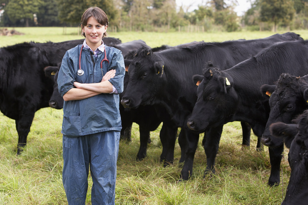veterinarian with beef cattle