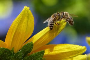 bee-honey-bee-apis-insect-144252