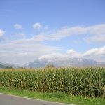 picture of a corn field