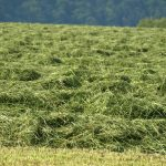 mowed alfalfa field