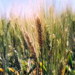 barley blight