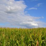 corn field with blue sky and white clouds