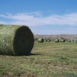 round bales in a hay field