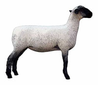 image of a sheep