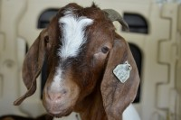 image of a brown and white goat