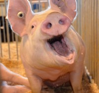 picture of a white pig with its mouth open