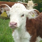 picture of a beef calf