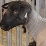 image of a lamb