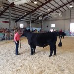 McKinkley shwing her animal during the beef show at the Fond du Lac County Fair