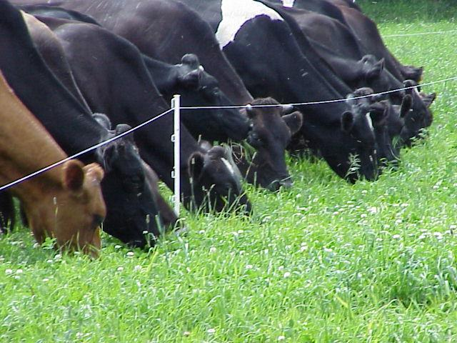 cows eating along fence