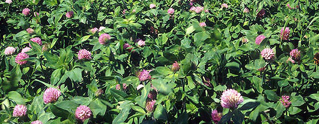 Red_clover_field2