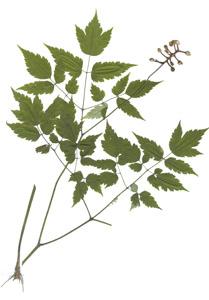 Actaea pachypoda